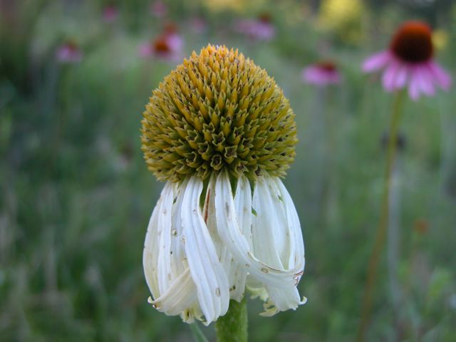 Among thousands of <strong>Purple Coneflowers</strong> I found a single specimen of the rare white-colored variety.<br />