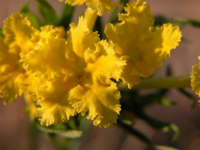 puccoon-3.jpg